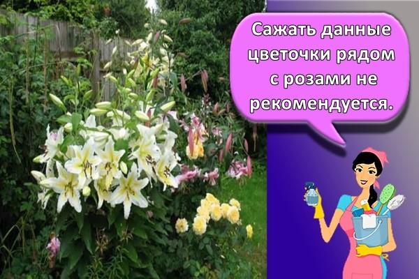 Сажать данные цветочки рядом с розами не рекомендуется.