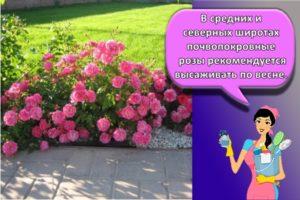 Правила посадки и ухода за почвопокровными розами, выращивание и лучшие сорта