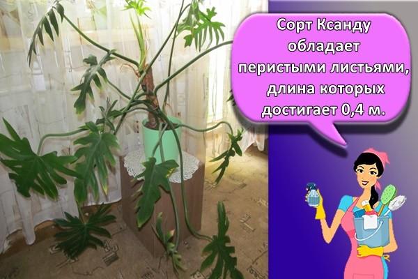 Сорт Ксанду обладает перистыми листьями, длина которых достигает 0,4 м.