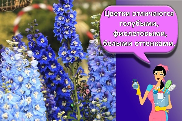 Цветки отличаются голубыми, фиолетовыми, белыми оттенками.