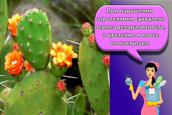 При нарушении агротехники суккулент теряет декоративность, а цветение и вовсе не наступает.