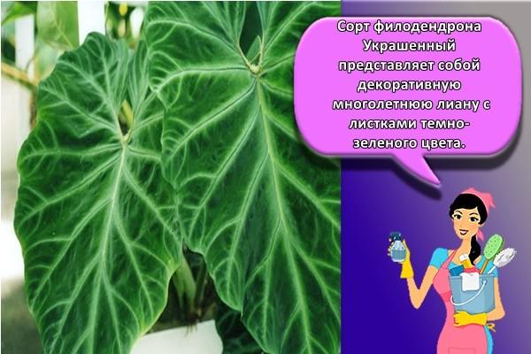 Сорт филодендрона Украшенный представляет собой декоративную многолетнюю лиану с листками темно-зеленого цвета