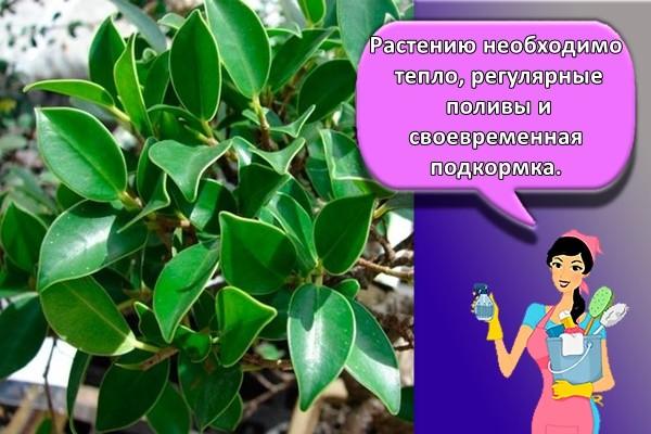 Растению необходимо тепло, регулярные поливы и своевременная подкормка.