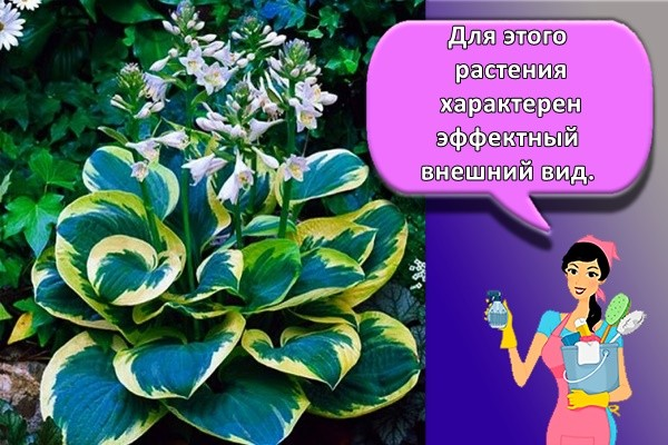 Для этого растения характерен эффектный внешний вид.