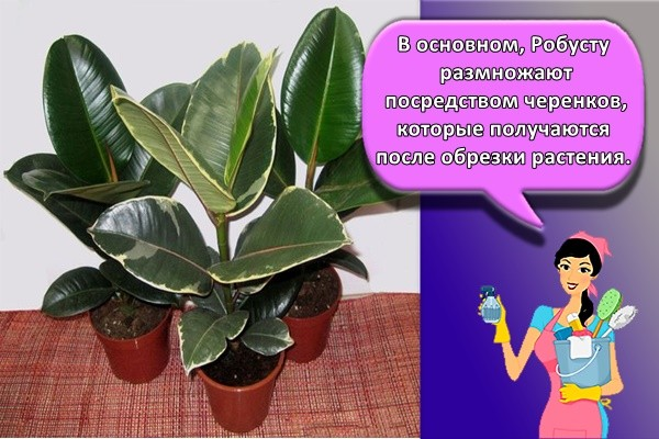 В основном, Робусту размножают посредством черенков, которые получаются после обрезки растения.