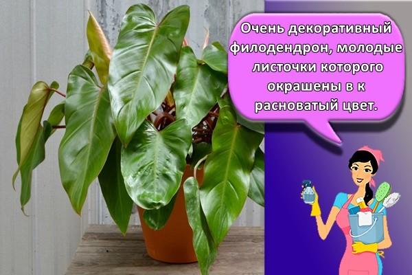 Очень декоративный филодендрон, молодые листочки которого окрашены в красноватый цвет.