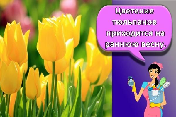 Цветение тюльпанов приходится на раннюю весну.