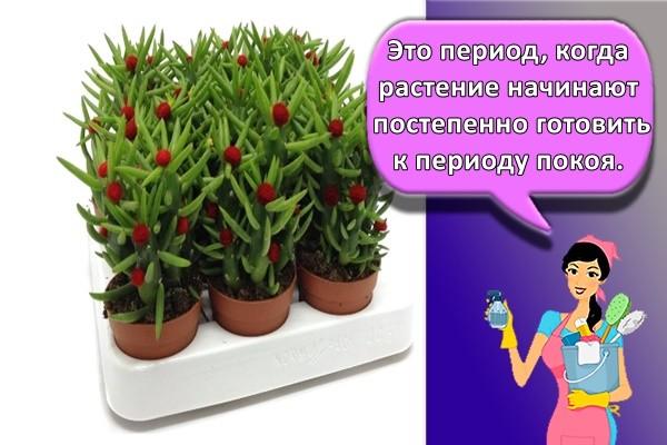 Это период, когда растение начинают постепенно готовить к периоду покоя.