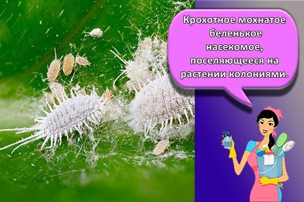 Крохотное мохнатое беленькое насекомое, поселяющееся на растении колониями.