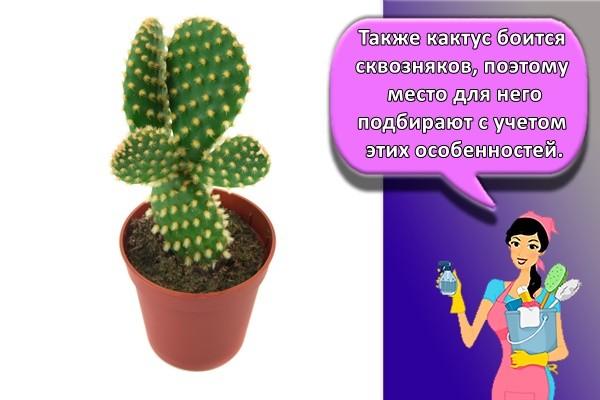 Также кактус боится сквозняков, поэтому место для него подбирают с учетом этих особенностей.