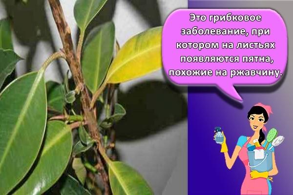 Это грибковое заболевание, при котором на листьях появляются пятна, похожие на ржавчину.