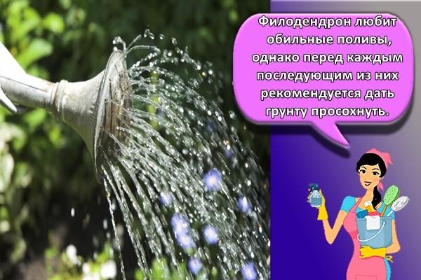 Филодендрон любит обильные поливы, однако перед каждым последующим из них рекомендуется дать грунту просохнуть