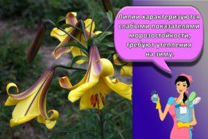 С какими цветами сочетаются лилии и как оформить клумбы