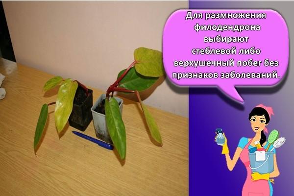 Для размножения филодендрона выбирают стеблевой либо верхушечный побег без признаков заболеваний.