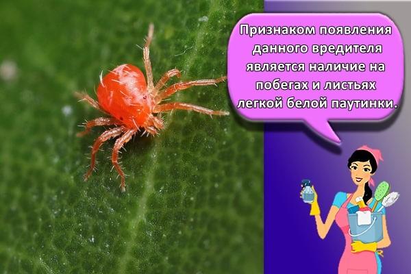 Признаком появления данного вредителя является наличие на побегах и листьях легкой белой паутинки.