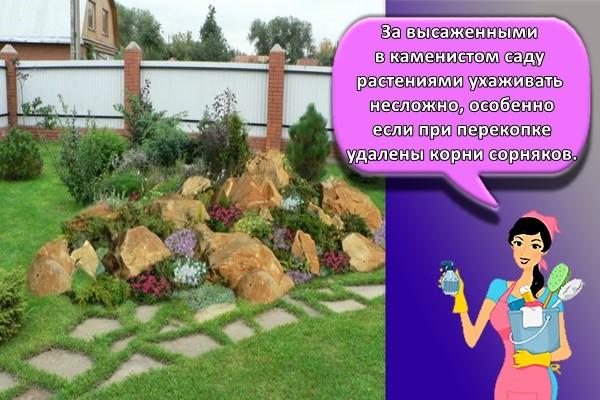 За высаженными в каменистом саду растениями ухаживать несложно, особенно если при перекопке удалены корни сорняков.