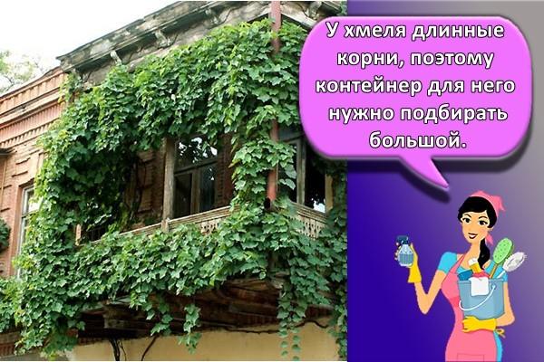 хмель на балконе