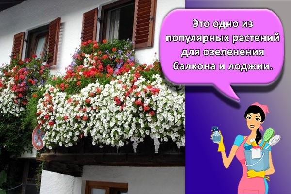 Это одно из популярных растений для озеленения балкона и лоджии.