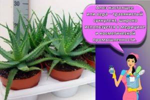 Как правильно посадить и ухаживать за алоэ в домашних условиях, секреты выращивания в горшке