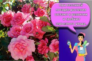 Правила посадки и ухода за плетистой розой в открытом грунте и секреты выращивания