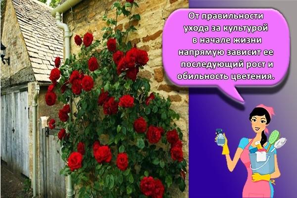 От правильности ухода за культурой в начале жизни напрямую зависит ее последующий рост и обильность цветения.