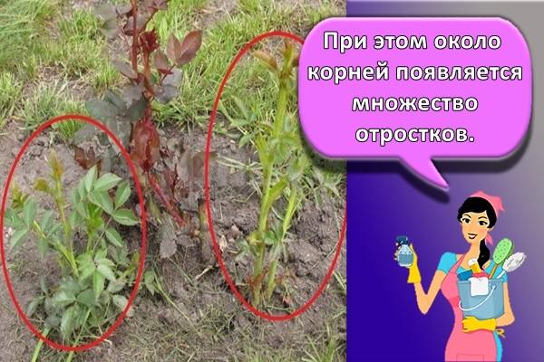 При этом около корней появляется множество отростков.