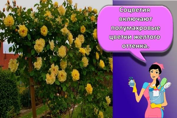 Соцветия включают полумахровые цветки желтого оттенка.