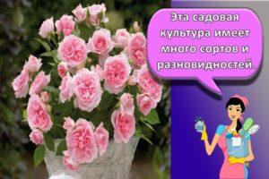 Правила посадки и ухода за комнатной розой в домашних условиях