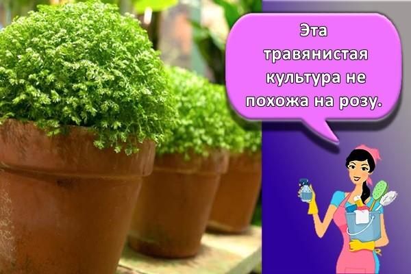 Эта травянистая культура не похожа на розу.