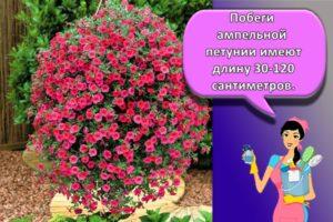 Уход и выращивание петуний в домашних условиях, ТОП 7 сортов и их посадка