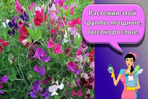 Растения этой группы мощные, высокорослые.