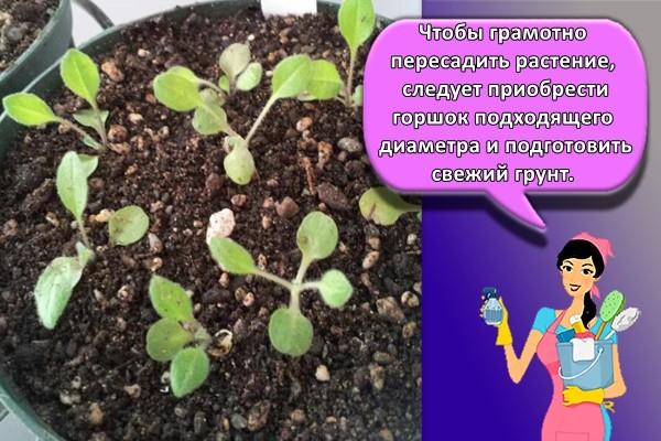 ростки фиалки