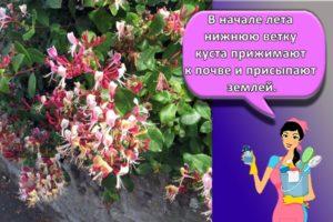 Виды и размножение декоративной жимолости, посадка и уход за каприфолью