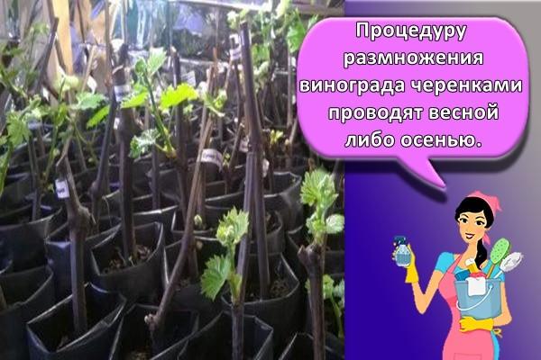 Процедуру размножения винограда черенками проводят весной либо осенью.