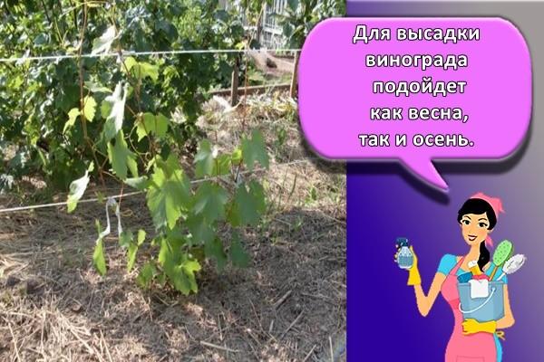 Для высадки винограда подойдет как весна, так и осень.