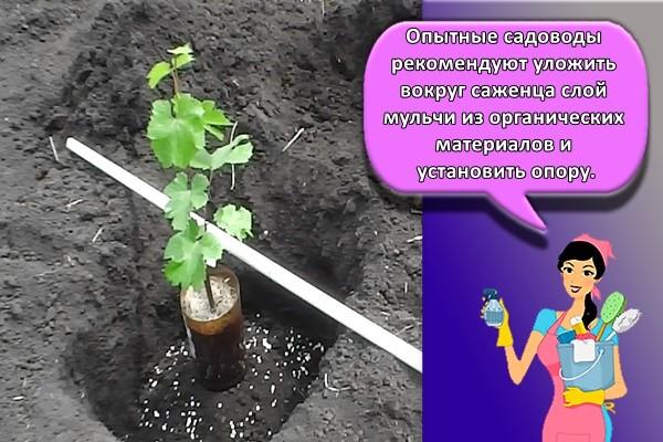 Опытные садоводы рекомендуют уложить вокруг саженца слой мульчи из органических материалов и установить опору.