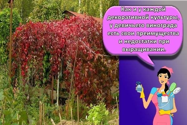 Как и у каждой декоративной культуры, у девичьего винограда есть свои преимущества и недостатки при выращивании.