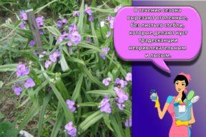 Топ-10 разновидностей садовой многолетней традесканции, ее посадка и уход