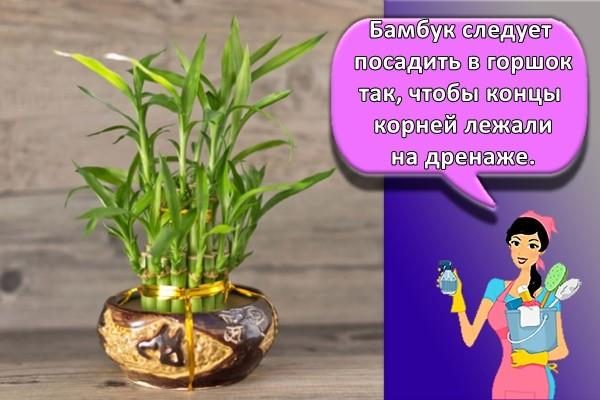 Бамбук следует посадить в горшок так, чтобы концы корней лежали на дренаже.