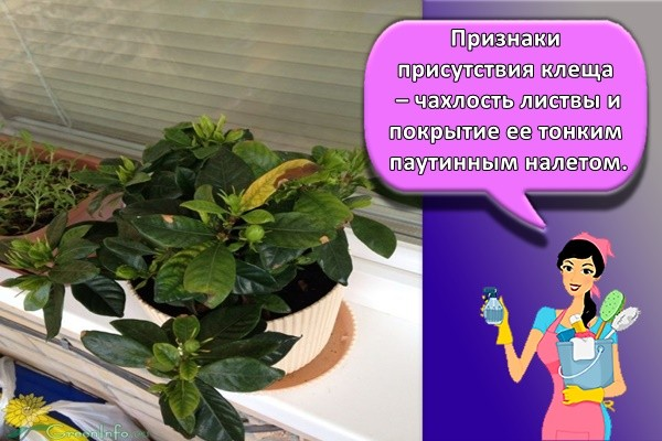 Признаки присутствия клеща – чахлость листвы и покрытие ее тонким паутинным налетом.