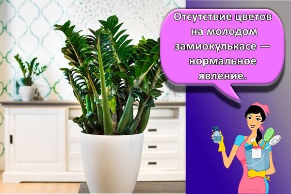 Отсутствие цветов на молодом замиокулькасе — нормальное явление.
