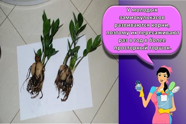 У молодых замиокулькасов развиваются корни, поэтому их пересаживают раз в год в более просторный горшок.