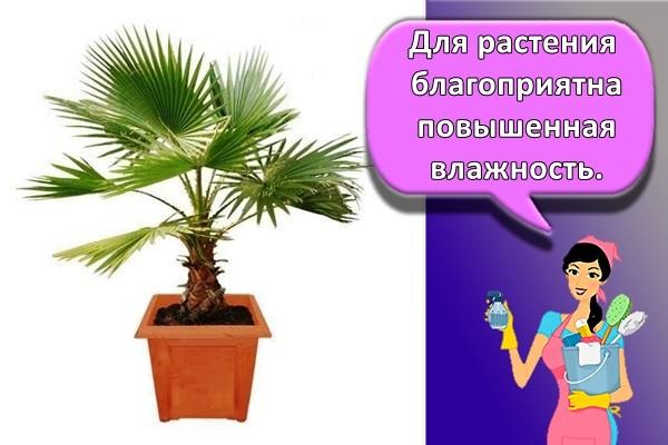 Для растения благоприятна повышенная влажность.