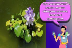 Описание водного гиацинта и его размножение, посадка и уход в пруду