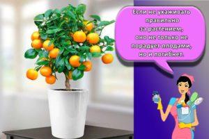 Правила выращивания апельсина из косточки, посадка и уход в домашних условиях
