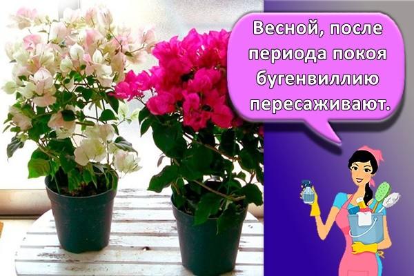 Весной, после периода покоя бугенвиллию пересаживают.