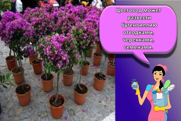 Цветовод может развести бугенвиллию отводками, черенками, семенами.