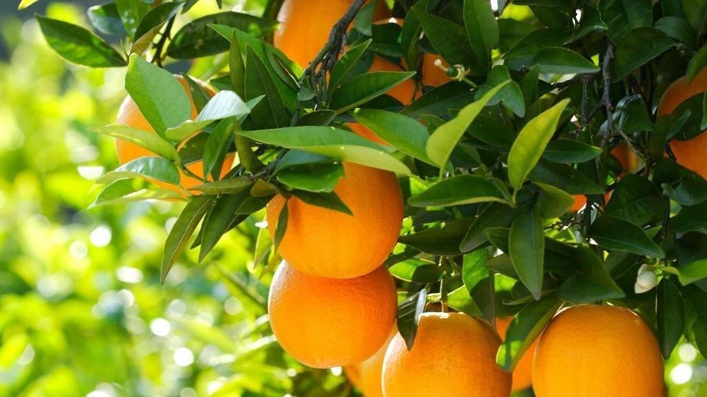 Гамлин апельсин