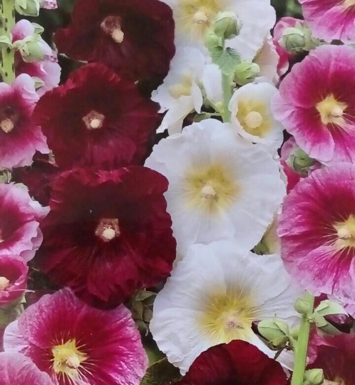 шток роза Индийская весна