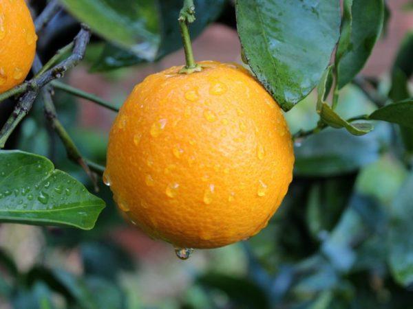 красивый апельсин